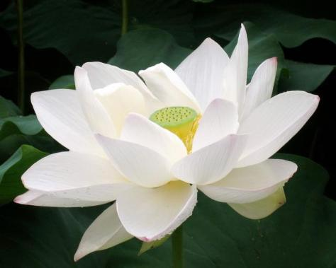 Big white Lotus Flower photo