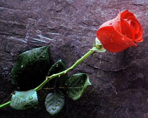 Flower-wallpapers-true-love-forever-red-rose-wallpaper-1280x1024